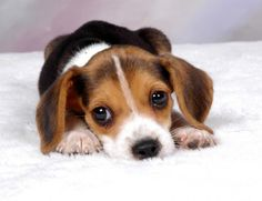 I've come to a conclusion. Miniature beagles are the cutest thing ever!!