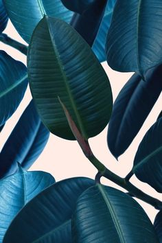 Ficus elastica 2 Art Print, urban jungle trend, botanic trend, plant trend, modern wall art, contemporary art print, tropical art