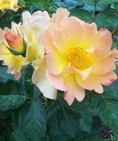 Morden Sunrise rose