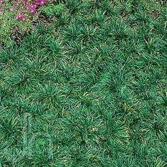 Dwarf mondo grass ground cover, weed prevention and erosion control. For slopes. Dwarf mondo grass g Sloped Backyard, Backyard Playground, Hillside Landscaping, Landscaping Plants, Outdoor Plants, Outdoor Gardens, Dwarf Mondo Grass, Grass Alternative, Erosion Control