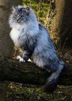 Tito, Lucien's very regal Norwegian forest cat :D He's quite princely Cute Cats And Kittens, Cool Cats, Kittens Cutest, Pretty Cats, Beautiful Cats, Animals Beautiful, Animal Gato, Mundo Animal, Maine Coon