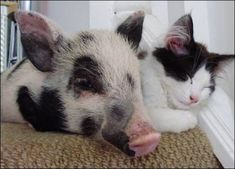 11 Times Cats Fell in Love with Farmed Animals - ChooseVeg.com