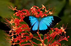 """Ulysses Butterfly """"Papilio ulysses"""" by aycee_2000, via Flickr"""