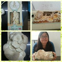 Is very excited and good experience on growing my own oyster mushroom. I was anticipated to see the growth of mushroom since day 1 and wondered how big it can grow. Im happy with this moku mushroom box. ^^ - Daisy Pham  mokumoku.my