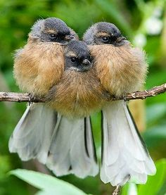 Fantail Chicks, native to New Zealand