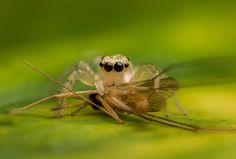 Salticidae - Phintella versicolor (female) feeding on a mosquito
