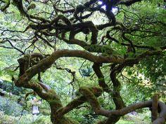 Intricate choreography of Garry Oak branches Sunken Garden, Italian Garden, Backyard Birds, Branches, Mother Nature, Abandoned, 19th Century, Gardens, Victoria