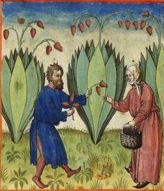 Tacuinum Sanitatis, ca. 1400 Bananas  Bibliothèque nationale de France, Paris