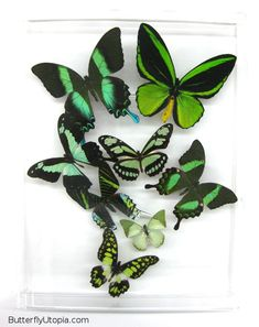 Green+Butterfly | Green Butterflies framed art
