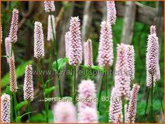 Persicaria bistorta   Duizendknoop, Adderwortel Garden, Garten, Lawn And Garden, Gardens, Gardening, Outdoor, Yard, Tuin