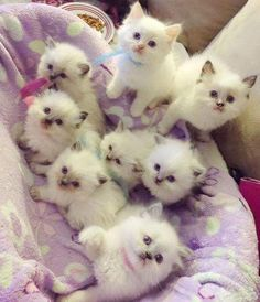 Cute Baby Animals Coloring Pages minus Really Cute Kittens And Puppies before Kittens For Sale Near Edinburgh Cute Kittens, Kittens And Puppies, Ragdoll Kittens, Fluffy Kittens, Pretty Cats, Beautiful Cats, Animals Beautiful, Cute Baby Animals, Animals And Pets