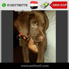 Egypt, Alexandria  57 male chocolate labradore for sale father imported from Switzerland very clean,energetic and great family dog. Price is not nogotiable. #pet4sell