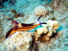 Meeresschnecke - Tauchen Sharm el Sheikh in Ägypten
