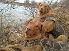 Buxton and Betty my two faithful and lovable companions. They are Chesapeake Bay Retrievers. Like most Chessies they love to swim and hunt.