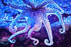 Purple octopus, almost translucent. Beautiful.