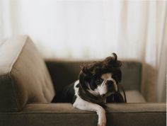 Boston Terrier + Mullet