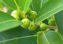 Ficus Burtt-davyi     figs         Veld Fig       Veldvy          5 m     S A no 49