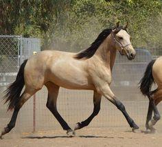 Warlander (Friesian x Andalusian) Buckskin,