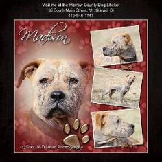 Madison (needs TLC) is an adoptable Boxer Dog in Mount Gilead, OH. Madison arrived here after being removed from a property. Our best guess is that she is around 1-2 yrs old. In her short life she h...