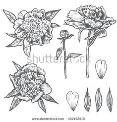 Graphic peony flower, bud, leaves, petals hand drawn vector illustration isolated on white background for beauty salon, wedding card, greeting invitation, florist shop, wallpaper, design pattern