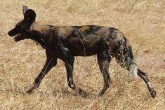 Laika ac African Wild Dog (9882202246) cropped.jpg