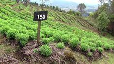 Como producir Plantas Aromaticas Organicas Industria Familiar - TvAgro B...