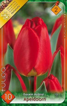 Darwin-hybrid tulipán 'Apeldoorn' Darwin, Rose, Flowers, Plants, Pink, Plant, Roses, Royal Icing Flowers, Flower