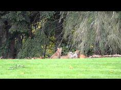 Three bobcats play in Redmond, WA backyard