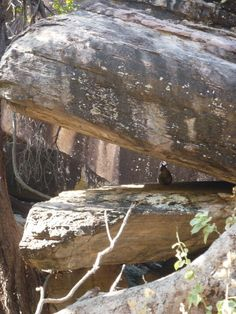 Kangaroo between the rocks - kakadu NP ❤️