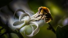 Small macro test, not easy they move all the time these little creatures!!! Petit test de macro, pas facile, elles bougent tout le temps ces petites bêtes !! - Charente, France Some groups with invitations : ADMIN TALK INTERNATIONAL Wingtips ~ Admin Invite only  happyculteur (Abeille-Bee)  Best Of... Bokeh - Invitation Only - Best Of... Proxy and Macro Photographies Best Of... Stunning Colors !!! (INVITE ONLY) International Amateurs Photos (Invite Only) La quête du Graal  Lucie'Top…