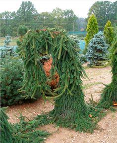 Picea abies Bohemica Pendula :: Квітковий сад Ірини Ковальчук