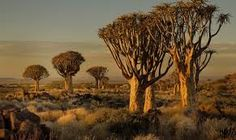 Image result for african shrubs images