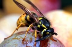 You can repel wasps from your garden by planting certain flowers.