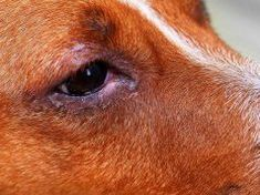 Natural Remedies for Pink Eye in Dogs Small Dog Breeds, Small Dogs, Top Dog Food Brands, Top Dog Foods, Human Food For Dogs, Worms In Dogs, Sweet Potatoes For Dogs, Wet Dog Food, Homemade Dog Treats