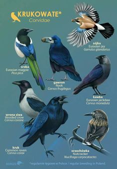 Eurasian Magpie, Jackdaw, Crow, Birds, How To Plan, Outdoor, Animals, Geography, Outdoors