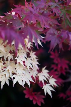 Acer Palmatum Sango Kaku and sp. Ferns Garden, Garden Shrubs, Love Garden, Garden Trees, Shade Garden, Lawn And Garden, Patio Plants, Outdoor Plants, Trees And Shrubs