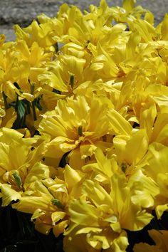 "Tulipa Monte Carlo 18""  Hardy to Zone 2  Blooms Early Spring Full Sun"