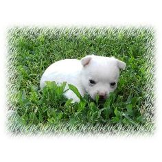 Chihuahua Rescue NC Chihuahua breeders in North Carolina