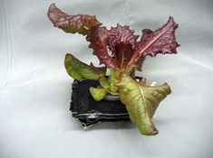 A Outredgeous red romaine lettuce plant grows in a prototype Veggie flight pillow. astronauts living and working aboard the International Space Station are going to receive a newly developed Vegetable Production System VEGGIE. Growing Lettuce, Growing Veggies, Hydroponic Gardening, Hydroponics, Nasa Space Program, International Space Station, Growing Seeds, Plant Growth, To Infinity And Beyond