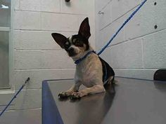 CHULA (A1663391) I am a female tricolor Chihuahua - Smooth Coated. The shelter staff think I am about 4 years old. I was found as a stray and I may be available for adoption on 12/08/2014. — hier: Miami Dade County Animal Services. https://www.facebook.com/urgentdogsofmiami/photos/pb.191859757515102.-2207520000.1417560778./882700261764378/?type=3&theater