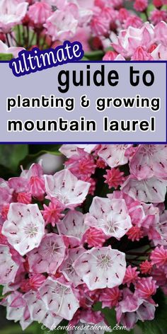 These tips on Mountain Laurel care are awesome! It's an evergreen bush with really pretty flowers that grows well in the shade. Learn all about how to grow Kalmia latifolia. #fromhousetohome #gardeningtips #shadeplants #gardenideas #mountainlaurel #plants Partial Shade Perennials, Shade Flowers Perennial, Shade Loving Shrubs, Shade Shrubs, Full Sun Perennials, Flowers Perennials, Shade Plants, Perennial Bushes