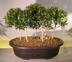 Brush Cherry bonsai are popular indoor trees because they have small, shiny, evergreen leaves and white flowers.  Lots of different versions of Brush Cherry bonsai are available