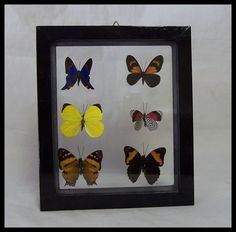 Butterfly Six Mini Specie Frame by timelessdesigns07 on Etsy