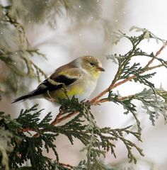 Love this photo of an American Goldfinch! The misty background and the green branch make it such a beautiful photo. Pretty Birds, Love Birds, Beautiful Birds, Beautiful Moments, Expressions Photography, Goldfinch, Little Birds, Green Backgrounds, Bird Watching