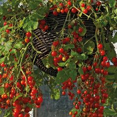 Tomato 'Cherry Cascade' - for hanging basket