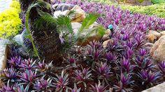 Abacaxi roxo - Tradescantia spathacea Hawaiian Dwarf - Flores e Folhagens Florida Landscaping, Florida Gardening, Tropical Landscaping, Landscaping Plants, Outdoor Landscaping, Front Yard Landscaping, Plants For Planters, Shade Garden Plants, Purple Plants
