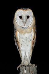 My grandparents had 3 barn owls roosting in the pine trees in their front yard for a few years. It was such a special gift.  We'd go out at dusk, and watch them take to flight out for the hunt, right over our heads standing in the driveway. I loved to collect their regurgitated pellets that fell around the trees, and disect them, reconstructing small skelletons of rodents, and sometimes birds or reptiles!! This memory is fond, and will last forever.  Mostly b/c of time spent w/ my…