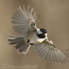 black capped chickadee - Google Search