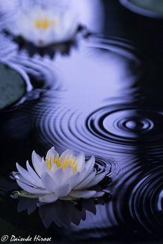 Lotus Flower Wallpaper, Lily Wallpaper, Wallpaper Nature Flowers, Beautiful Flowers Wallpapers, Beautiful Roses, Lotus Flower Seeds, Lotus Flower Pictures, Exotic Flowers, White Flowers