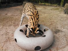 Cat Toy from the Wildlife Toy Box products line.  Picture courtesy of Chehaw's Wild Animal Park.